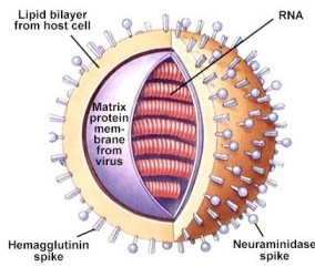 Flu Virus Anatomy