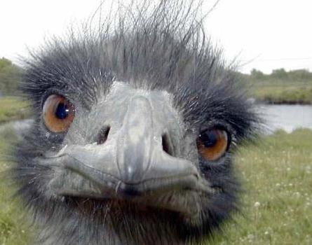 Ostrich Hilton