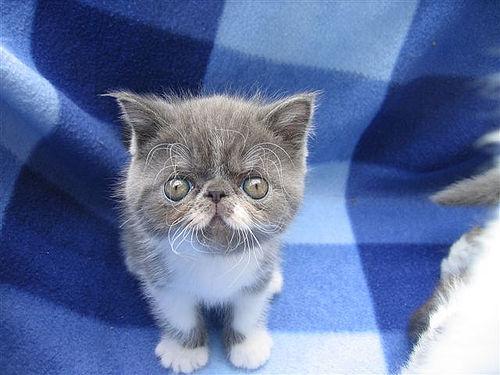 Swedie Kitty
